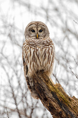 Barred Owl (ayres_leigh) Tags: bird owl nature animal wildlife barred canon high key white gloomy