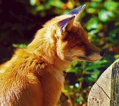 Un magnifique renard 😊 (cheyennemercier) Tags: foxes fox renard animal zoo cute beautiful