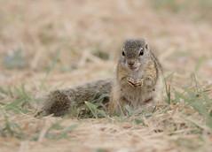 South African Tree Squirrel (dunderdan77) Tags: squirrel fur tail small cute tree animal nature safari satara south africa mpumalanga nikon tamron d500