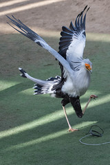 Secretary Bird. (LisaDiazPhotos) Tags: secretary bird frequentflyerbirdshow lisadiazphotos sdzsafaripark sdzoo sdzsp sandiegozoo sandiegozooglobal sandiegozoosafaripark