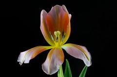 Tulipa 3 (kudi.buehlmann) Tags: sigma nikon flowers nature tulip tulpe tulipa blume schnittblume macro rosa farbig studio