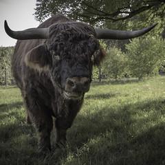 Schottisches Hochlandrind (mirko1895) Tags: wild hildesheim look brown braun herbst autumn grün green nature natur outdoor drausen tier wald baum rind hochlandrind highland cattle