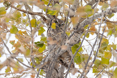 Great Horned Owl keeping watch