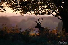 cerf-0130 (philph0t0) Tags: cervuselaphus cerfélaphe cervus elaphus cerf élaphe red deer reddeer stag rut brame animal mamal mammifère