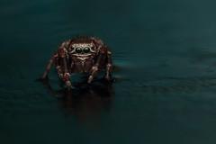 IMG_8603 (komusinmarek) Tags: evarcha arcuata jumpingspider jumping spider arachnidae salticidae skakun greeneyes pyrgun yellow green little cute sweet macro