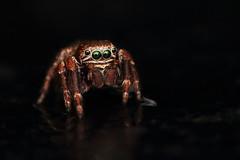 IMG_8602 (komusinmarek) Tags: evarcha arcuata jumpingspider jumping spider arachnidae salticidae skakun greeneyes pyrgun yellow green little cute sweet macro