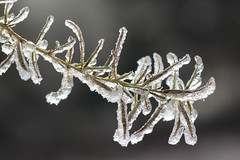 Ice magic (speech path girl) Tags: winter ice frost plant coated frosted icecovered
