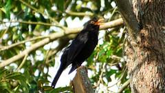 Massey, West Auckland (Sandy Austin) Tags: panasoniclumixdmcfz70 sandyaustin massey westauckland auckland northisland newzealand spring blackbird