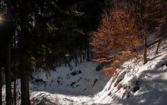 Un résistant (mrieffly) Tags: canoneos50d foretvosgienne hêtre neige alsace htrhin hautesvosges feuillesdautomne