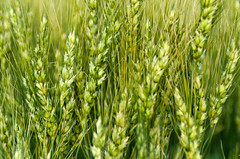Mystery Wheat Variety (Bracus Triticum) Tags: mystery wheat variety lacombe ラクーム アルバータ州 alberta canada カナダ 7月 七月 文月 shichigatsu fumizuki bookmonth 2018 平成30年 summer july