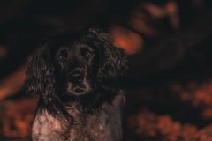Springer Spaniel-1 (neil 36) Tags: springer spaniel working dog pet