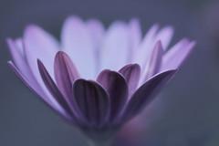 quelques pétales de douceur (christophe.laigle) Tags: christophelaigle fleur macro nature flower fuji mauve xpro2 xf60mm purple