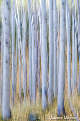 Birch Forest (Maureen Medina) Tags: artizenimages forest birch birches tree trees abstract intentionalcameramotion icm blur movement incamera painting light
