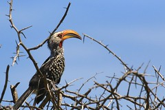 Hornbill (peet-astn) Tags: marabata waterbergmountains limpopo southafrica safari maratabasafarilodge wildlife nature hornbill southernyellowbilledhornbill tockusleucomelas