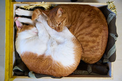 Cuddly Cats 1 (ArdieBeaPhotography) Tags: ginger white furry cat together snuggle cuddle curled box blanket heater golden eye tail twitch ear male female boy girl tamronspaf2875mmf28xrdildasphericalif