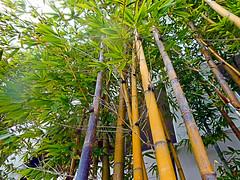 Bamboo (EmperorNorton47) Tags: missionviejo california photo digital winter bamboo bambu grass