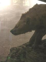 Giant Hyena (edenpictures) Tags: hallofhumanorigins newyorkcity nyc manhattan hyena predator hunting americanmuseumofnaturalhistory amnh naturalhistorymuseum museum upperwestside