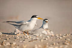 Instant Family (Kathy Macpherson Baca) Tags: bird animal terns endangered leasttern beach earth nest shore fly planet feather migrate longisland world fish chicks eggs