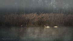 Autumn scene (Ruud.) Tags: ruudschreuder nikon nikond850 d850 noordbrabant brabant roosendaal brabantslandschap northbrabant netherlands zon sun sonne soleil zonsopkomst sunrise tolbergvijver dutchlandscape landscape landschap paisajes paysage landschaft mist nevel nebel fog foggy zwaan zwanen swan swans schwan schwäne cygne cygnes cigno cigni cisne cisnes olor svan svane svanar reiger heron riet rietkraag reed fringeofreeds