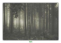 THE FOREST OF VEILS (régisa) Tags: forêt forest deadcandance morvan bourgogne arbre tree mist brume breuilchenue saintbrisson hêtraie nièvre