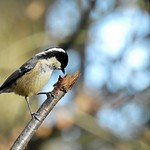 Could only be a ........Coal tit (Periparus ater) thumbnail