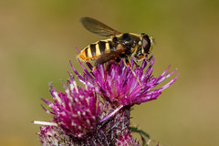 Happy (Hover)Fly Day Friday (Mark Wasteney) Tags: happyflydayfriday hfdf fly diptera insect invertebrate fauna flower flora summer