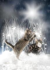 'Merry Christmas' (Jonathan Casey) Tags: cat tabby christmas card nikon d850 50mm sigma art f14 winter studio