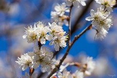 Chinese sour cherry (Prunus pseudocerasus) (takapata) Tags: sony sel90m28g ilce7m2 macro nature flower cherry tree