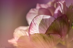 Transparence (Lucie van Dongen) Tags: sonyar7ii sony90mm fiore flora renoncule buttercup pink bloom blossom beautiful colorful colir spring macro flower