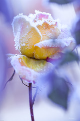 La rosa dell'inverno (kiareimages1) Tags: ice flowers winter artistic colors colorspastel roses bokeh macro macroflowers photosmacro kiareimaginations