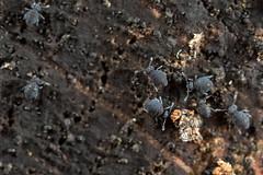 Sminthurinus niger Family (AquaNat-photo) Tags: collembola collembole springtail mesofauna hexapoda mpe mpe65mm symphypleona