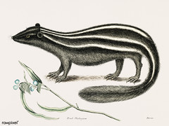 Polecat (Pseudo-Phalangium ramosum) from The natural history of Carolina, Florida, and the Bahama Islands (1754) by Mark Catesby (1683-1749).