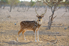 Chital (Axis axis) (Seventh Heaven Photography) Tags: chital cheetal axis axisaxis spotted deer animal mammal sirbaniyas sir bani yas island uae united arab emirates persian gulf al gharbia nikond3200 trees sand antlers