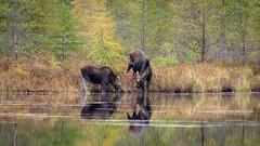 nature and nurture (jtr27) Tags: dscf2711xl jtr27 fuji fujifilm xt20 xc 50230mm f4567 ois oisii moose baxter state park maine wildlife pond lake cow calf tamarack