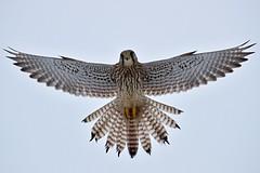 AL6I1449 (chavko) Tags: predators flickr jozefchavko falco tinnunculus common kestrel slovakia wildlife sky bird animal