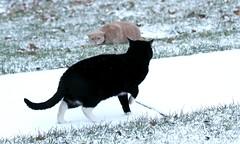 Oh no, what to do?! (Kerri Lee Smith) Tags: jimmy dirt cats felines tabbies tabby tabbycat blackcat buffcat beigecat creamcat orangecat bufftabby orangetabby creamtabby beigetabby snow winter grass sidewalk