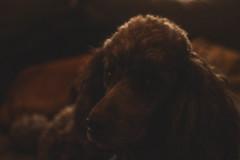 Big Wee Poodle (C Davy) Tags: zeissjena35mm m5 vintagelens dogs