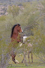 Come on up (littlebiddle) Tags: arizona saltriver wildhorses nature wildlife horse mammal equine