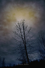 Dark Morning (jeanmarie's photography) Tags: jeanmarieshelton crows birds trees silhouette morning moody clouds sky sunrise dark nature lowkey