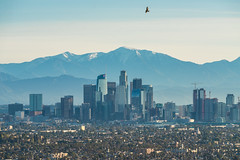 Hawk Flying Over Downtown Los Angeles from Kenneth Hahn State Recreation Area (SCSQ4) Tags: bird birdsinflight california downtownlosangeles favorite favoritepicture hawk kennethhahnstaterecreationarea losangeles mountains snowymountains sunrise winter