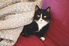 Coldest Caturday Ever (kirstiecat) Tags: cold winter blanket cat catnap kitty blackcat tuxedocat chicago polarvortex chiberia feline chat gato caturday