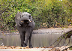 All Twisted _5427 (hkoons) Tags: chobenationalpark nationalpark southernafrica 4wheel africa botswana chobe elephant kasane people riverbed savuti animal animals automobile avenue beast burden bus car cargo carry conveyance crowded driveway ears fur giraffe gravel grazing herbivore highway human jungle labor landscape load mammal outdoors outside pachyderm panorama path public road rocks rocky sand shrub stones strength sunshine track transport transportation trees trunk tusks vehicle wheels