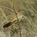 African Moustached Warbler - Nairobi NP - Kenya CD5A9892