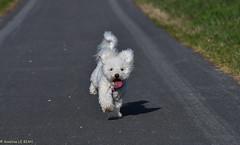 Attends, j'arrive ! Wait, I arrive ! (Annelise LE BIAN) Tags: aguilcourt france naïs chien bichonfrisé explore alittlebeauty coth coth5 fabuleuse sunshine