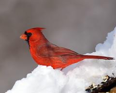 DSC_4023=3Cardinal (laurie.mccarty) Tags: bird snow bokeh nature wildlife nikon