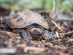 Turtle (John M Poltrack) Tags: animalia chelydraserpentina reptile snappingturtle turtle vertebrate lightroom
