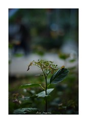 2018/10/14 - 9/18 photo by shin ikegami. - SONY ILCE‑7M2 / Carl Zeiss C Sonnar T* 1.5/50 ZM (shin ikegami) Tags: 紫陽花 flower 花 macro マクロ 井の頭公園 吉祥寺 autumn 秋 sony ilce7m2 sonyilce7m2 a7ii 50mm carlzeiss sonnar csonnar50mmf15 tokyo sonycamera photo photographer 単焦点 iso800 ndfilter light shadow 自然 nature 玉ボケ bokeh depthoffield naturephotography art photography japan earth asia