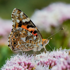 Distelvlinder (Henk van Oosten) Tags: distelvlinder vanessacardui vlinder butterfly natuur nature