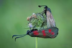 Schlafgemeinschaft oder Paarung? Zwei Sechsfleck-Widderchen (Zygaena filipendulae) nach Sonnenaufgang auf Tauben-Skabiose (Scabiosa columbaria) (AchimOWL) Tags: widderchen schmetterling insekt insect tier tiere animal makro macro landschaft outdoor pflanze gras wiese dmcgh5 gh5 natur nature lumix panasonic ngc schärfentiefe wildlife stack blutströpfchen nachtfalter fauna blume kaiserstuhl postfocus blüte taubenskabiose scabiosacolumbaria sechsfleckwidderchen erdeichelwidderchen