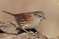 Passera scopaiola (Prunella modularis) (Marcello Giardinazzo) Tags: passerascopaiola prunellamodularis avifauna birds bird uccelli natura wild italia